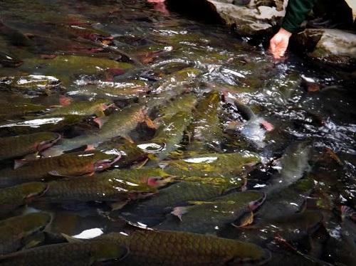 Khám phá những bí ẩn về suối cá thần ở Thanh Hóa 2