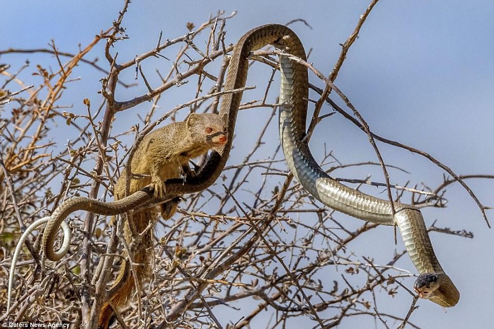 Rắn độc mamba đen chết thảm vì đòn cắn chí mạng của cầy mangut  1