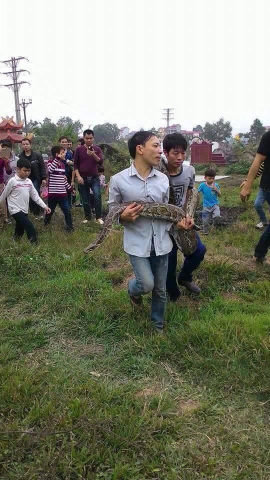 Thông tin mới về con trăn 'khủng' nặng 40kg chui vào mộ ở Hưng Yên 1