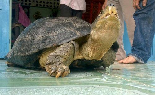 Bắt được rùa 'khủng' nặng 14kg, chủ nhân ôm ngủ suốt đêm vì sợ mất 1