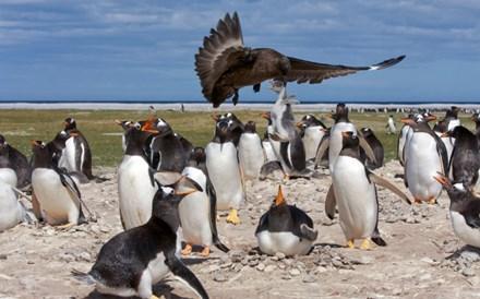 Chim cướp biển táo tợn bắt cánh cụt làm con mồi 1