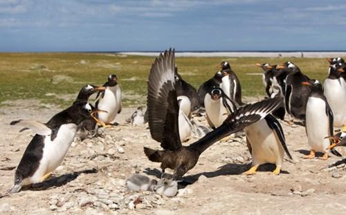 Chim cướp biển táo tợn bắt cánh cụt làm con mồi 2