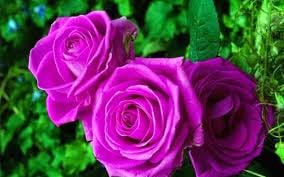 Hình ảnh Ý nghĩa của hoa hồng không phải ai cũng biết số 5
