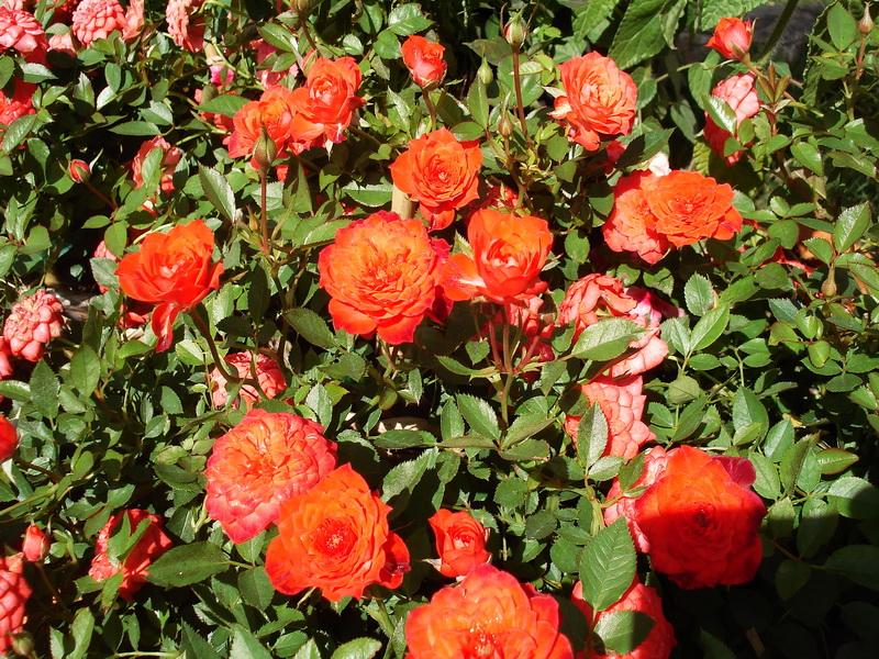 Hình ảnh Ý nghĩa của hoa hồng không phải ai cũng biết số 6