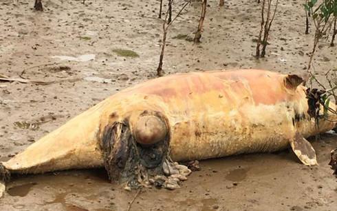 Xác cá voi gần 5 tấn dạt vào bờ biển Quảng Bình 2