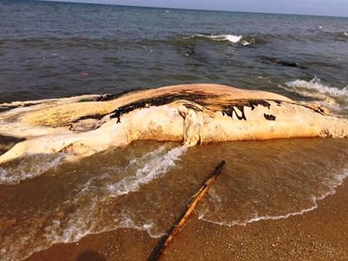 Xác cá voi gần 5 tấn dạt vào bờ biển Quảng Bình 1