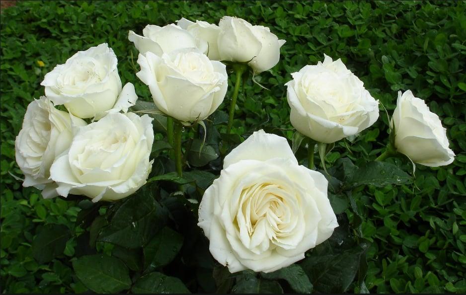 Bật mí lý do hoa hồng trắng là biểu tượng của tình yêu vĩnh cửu 1