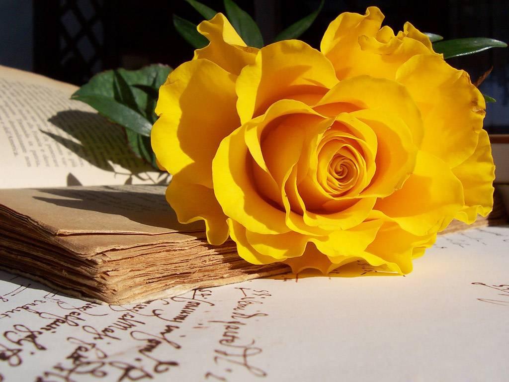 Hoa hồng vàng là món quà ý nghĩa tặng bạn bè, người thân. Ảnh minh họa.