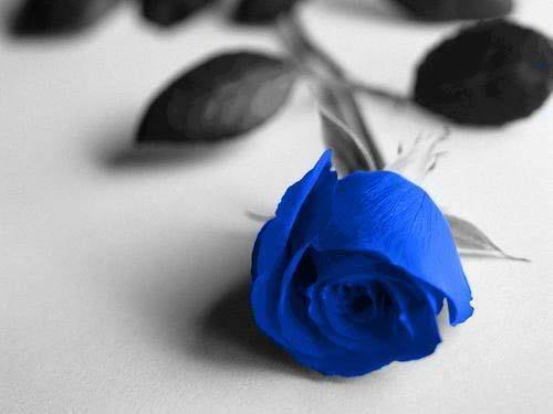 Hình ảnh Vì sao hoa hồng xanh là biểu tượng của tình yêu bất diệt? số 1