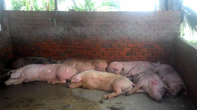 Cách nhận biết thịt lợn tiêm thuốc an thần 1