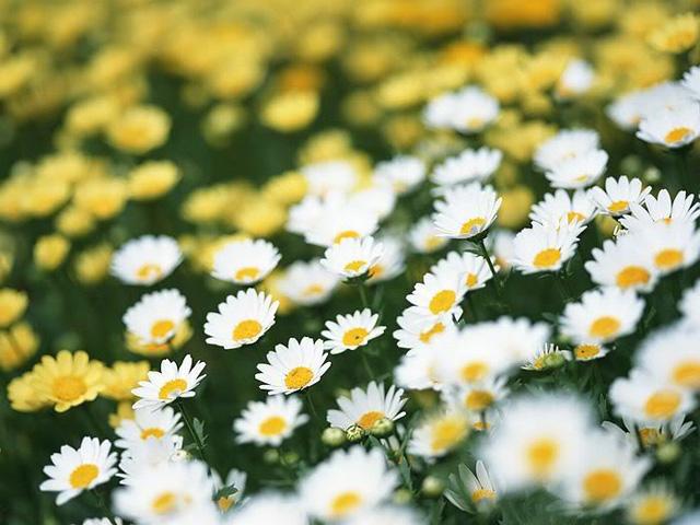 Ý nghĩa hoa cúc trong cuộc sống ít ai biết đến 2