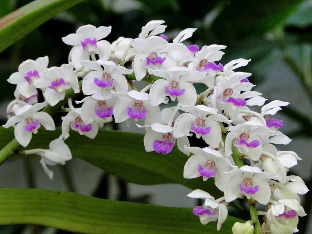 Ý nghĩa thú vị của các loài hoa lan ít người biết đến 3