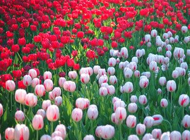 Nguồn gốc và ý nghĩa hoa tulip 1