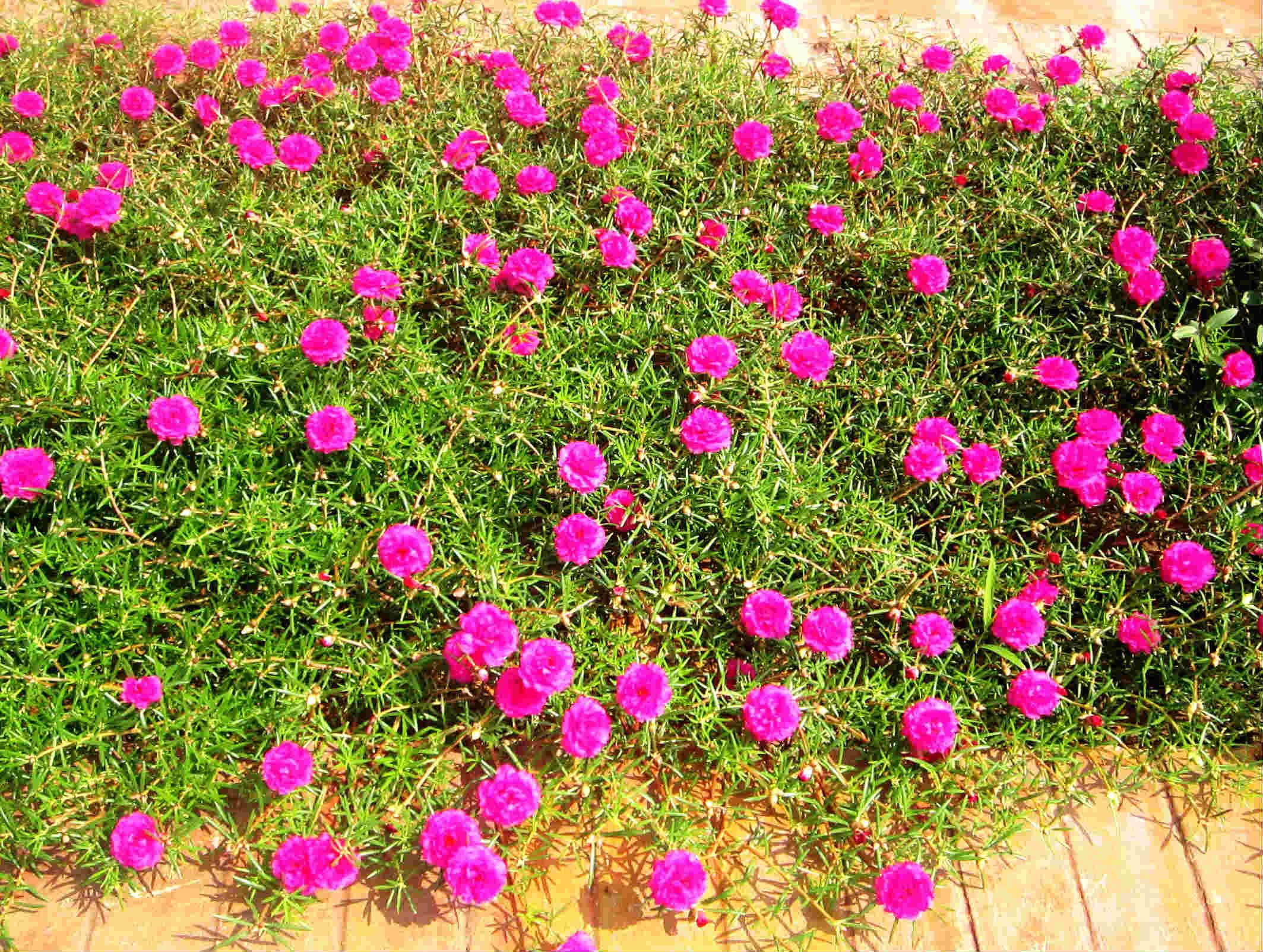 Hoa mười giờ chúm chím, nhỏ nhắn thường trồng ở hành lang. Ảnh minh họa.