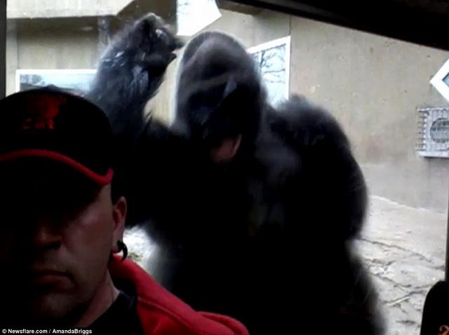 Khỉ đột gorilla nặng 2 tạ tức giận đòi tấn công du khách  1
