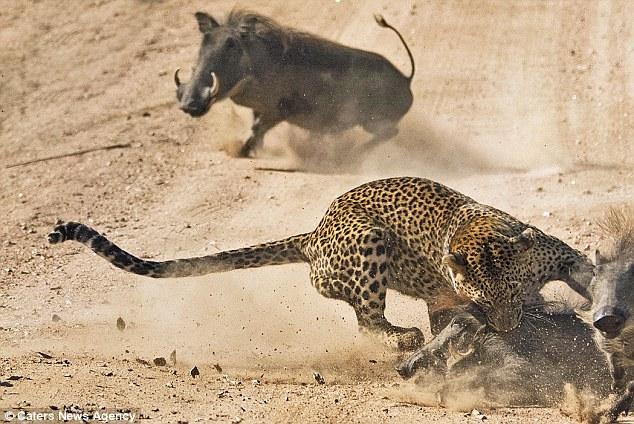 Lợn rừng mẹ liều mạng lao vào húc tung báo đốm cứu con thoát chết 2