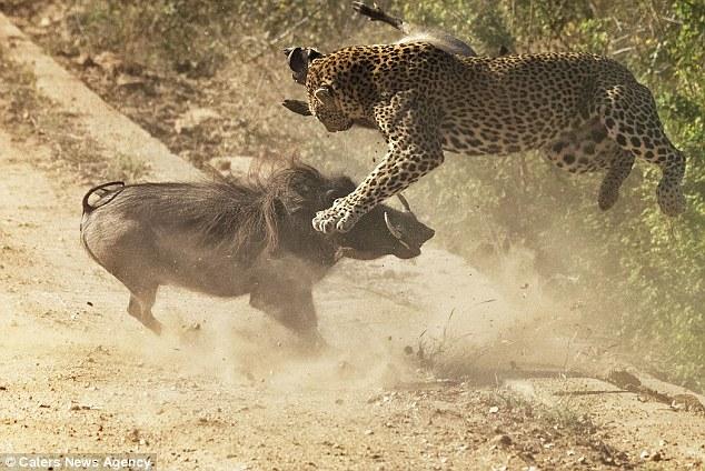 Lợn rừng mẹ liều mạng lao vào húc tung báo đốm cứu con thoát chết 5