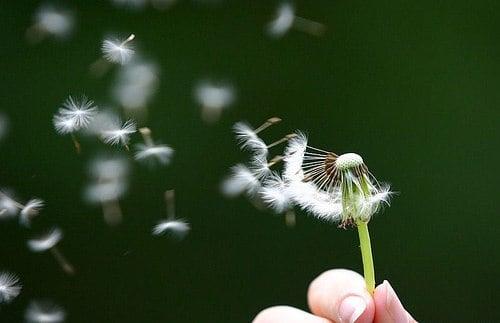 Công dụng chữa bệnh và ý nghĩa hoa bồ công anh ít ai biết 1