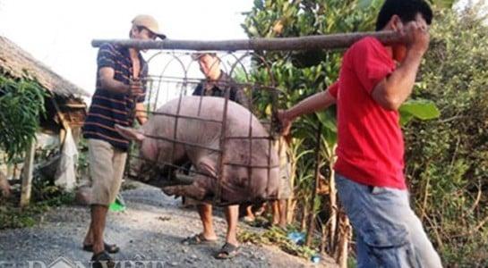 Trung Quốc dừng thu mua lợn siêu mỡ khiến người nuôi lao đao 1
