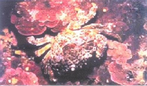 Cách nhận biết loại cua đá biển kịch độc tuyệt đối không ăn 3