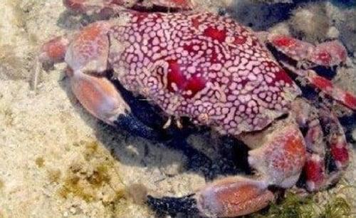 Cách nhận biết loại cua đá biển kịch độc tuyệt đối không ăn 2