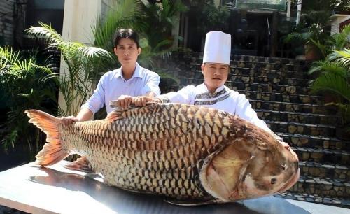 Cá hô nặng 117 kg, dài gần 2 m