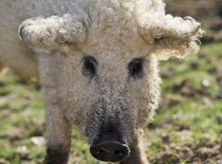 Hy hữu loài lợn mọc lông như cừu ở Hungary 1