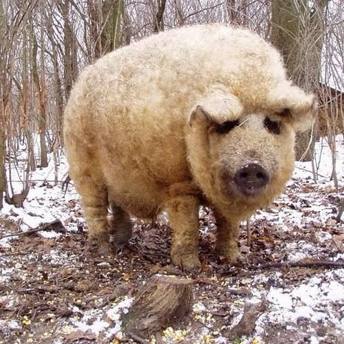 Hy hữu loài lợn mọc lông như cừu ở Hungary 3