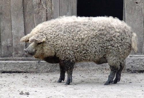 Hy hữu loài lợn mọc lông như cừu ở Hungary 4