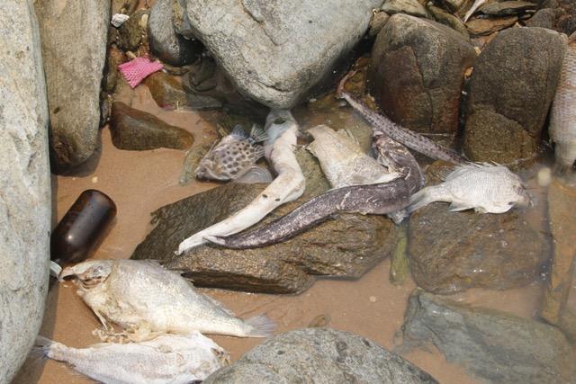 Cận cảnh cá biển chết trắng dọc 4 tỉnh miền Trung 1