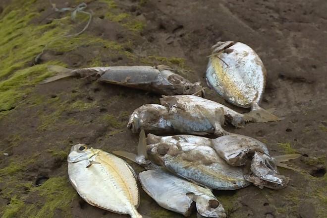 Cận cảnh cá biển chết trắng dọc 4 tỉnh miền Trung 4
