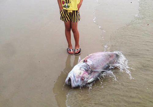 Cận cảnh cá biển chết trắng dọc 4 tỉnh miền Trung 5