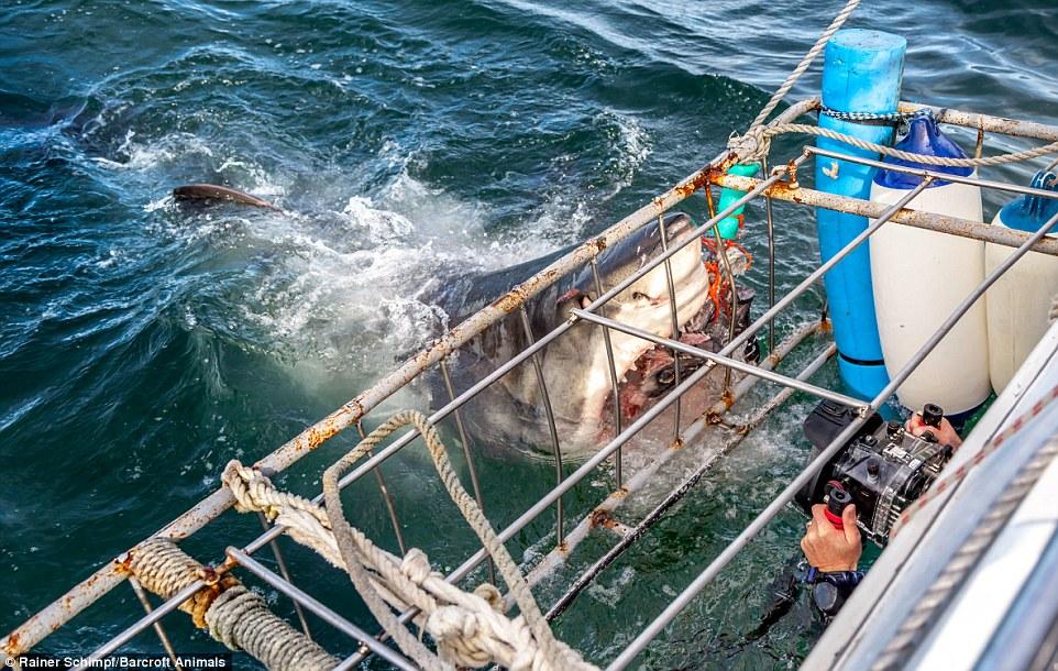 Hải cẩu bất lực nhìn cá mập trắng khổng lồ tấn công đồng loại 5