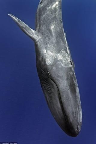 Cận cảnh loài cá voi xanh khổng lồ nặng 170 tấn, dài 32m 3