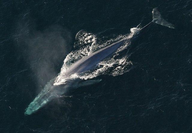 Cận cảnh loài cá voi xanh khổng lồ nặng 170 tấn, dài 32m 5