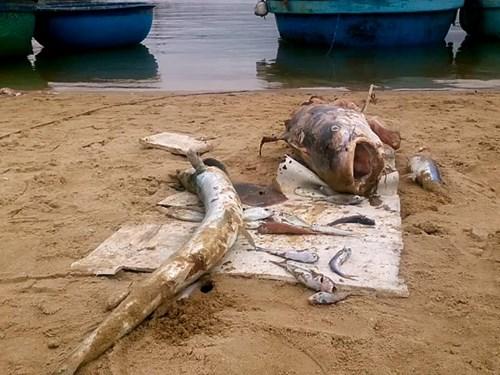 Cá chết hàng loạt ven biển miền Trung: Chiều nay công bố nguyên nhân 1