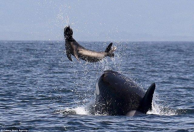Hải cẩu 2 tấn bị cá voi sát thủ hất lên trời rồi ăn thịt 1