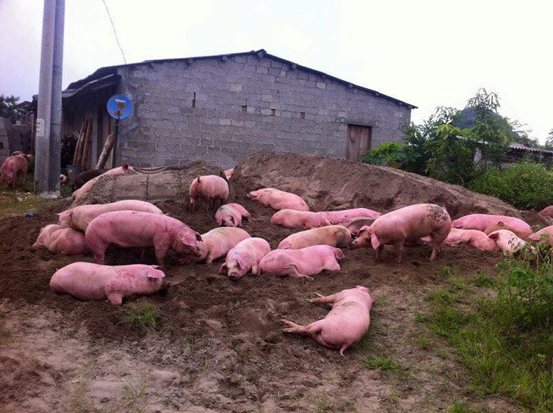 Lợn chết giá siêu rẻ tuồn từ biên giới Trung Quốc về Hà Nội 1