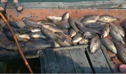 Người dân nhặt cá chết bán cho thương lái kiếm hàng triệu đồng/ngày 2