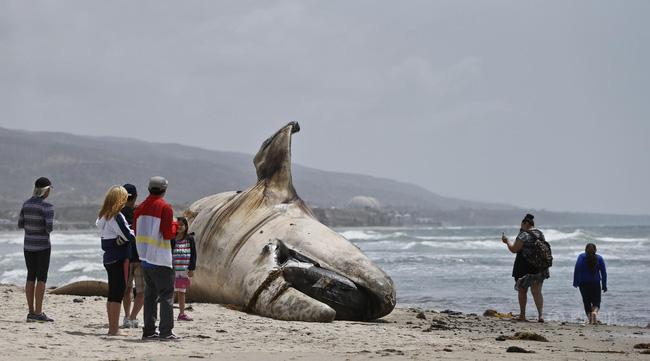 Video: Xác cá voi 30 tấn dạt vào khu nghỉ mát ở Mỹ 4
