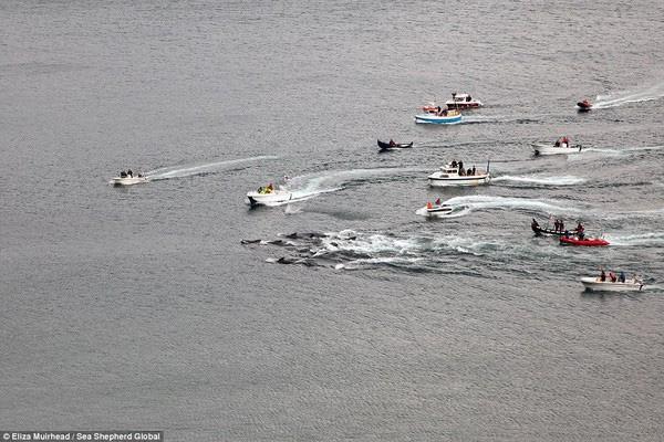 Video: Lễ hội thảm sát cá voi đẫm máu ở Đan Mạch gây phẫn nộ 1
