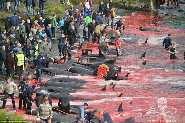 Video: Lễ hội thảm sát cá voi đẫm máu ở Đan Mạch gây phẫn nộ 4