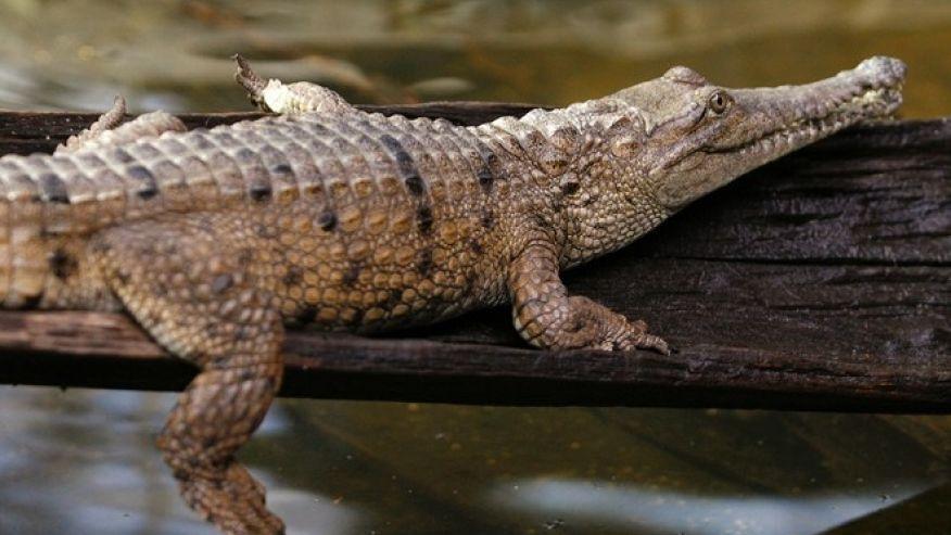 Người phụ nữ vùng vẫy cứu bạn khỏi hàm cá sấu 1