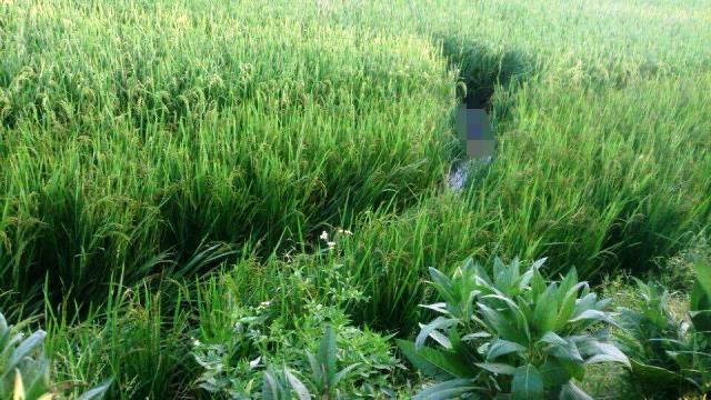 Phát hiện thi thể nam thanh niên chết thảm dưới ruộng lúa 1