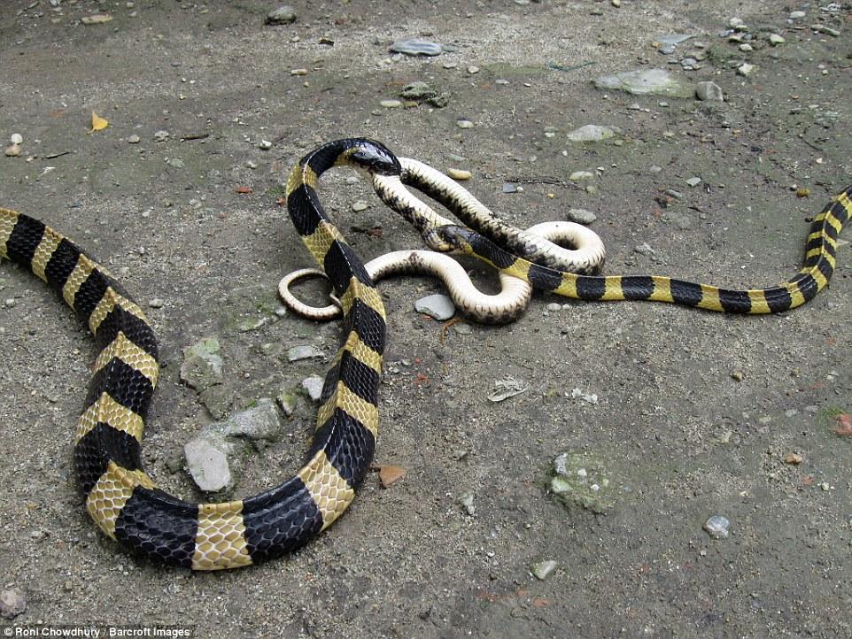 Hai con rắn cạp nong quyết chiến tranh nhau nuốt chửng đồng loại  5