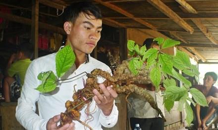 Quảng Nam: Dân đào được sâm ngọc linh tuổi đời hơn 100 năm 1