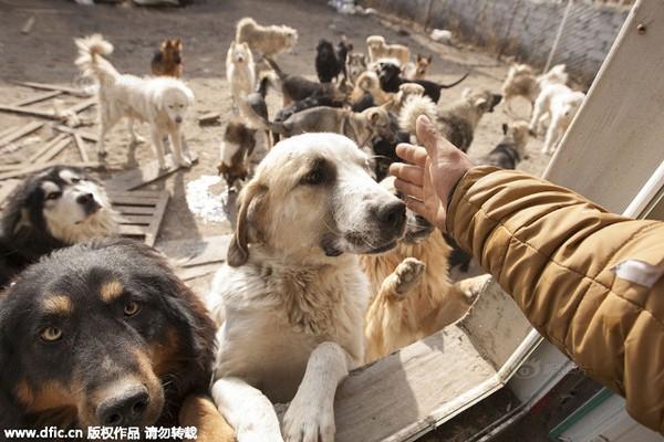 Triệu phú Trung Quốc phá sản vì nuôi hàng nghìn con chó 2
