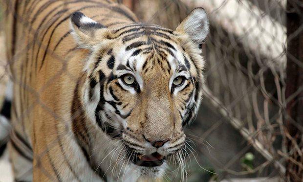 Nữ nhân viên sở thú bị hổ tấn công tử vong 1
