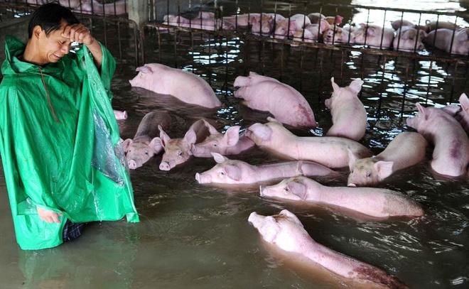 Người nông dân khóc giữa chuồng lợn ngập nước gây bão mạng Trung Quốc 1