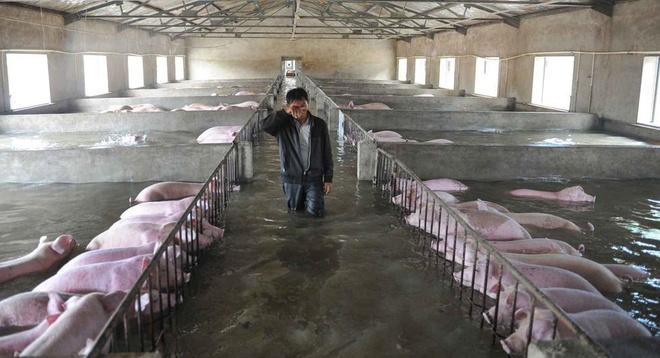 Người nông dân khóc giữa chuồng lợn ngập nước gây bão mạng Trung Quốc 2